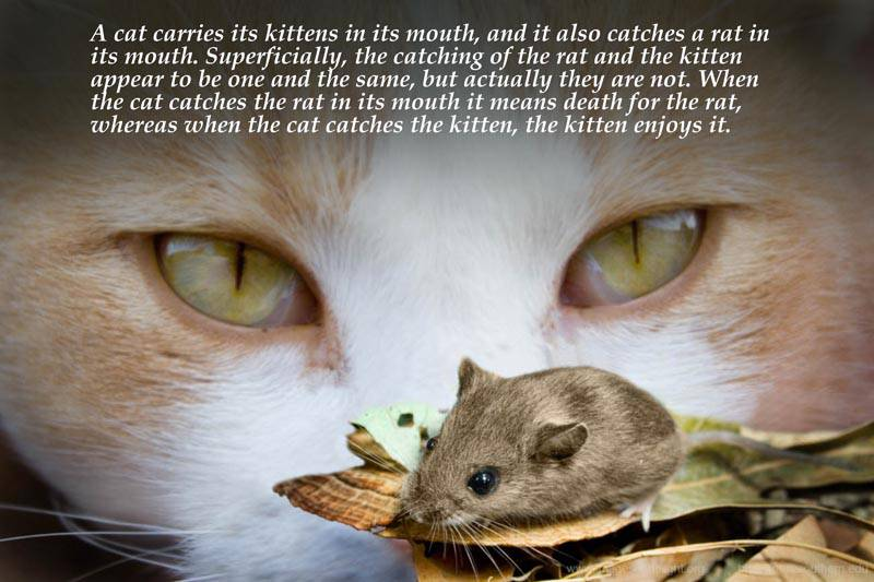 Quotes by Srila Prabhupada on A Cat Carrying Kittens and Rats in Its Mouth
