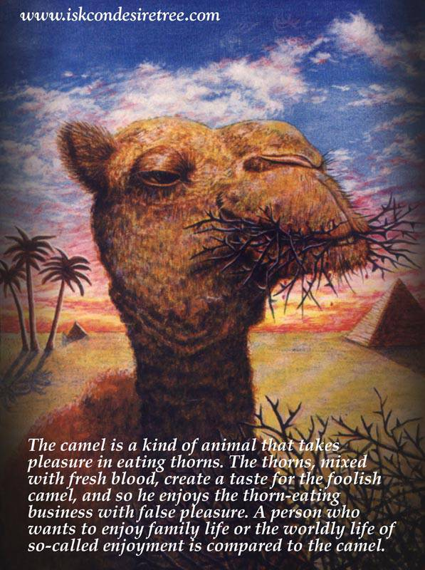 Quotes by Srila Prabhupada on A Camel-Like Person